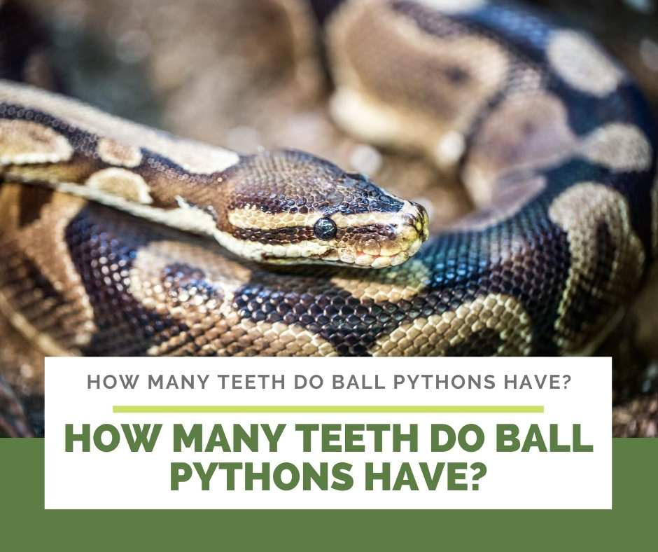 How Many Teeth Do Ball Pythons Have?
