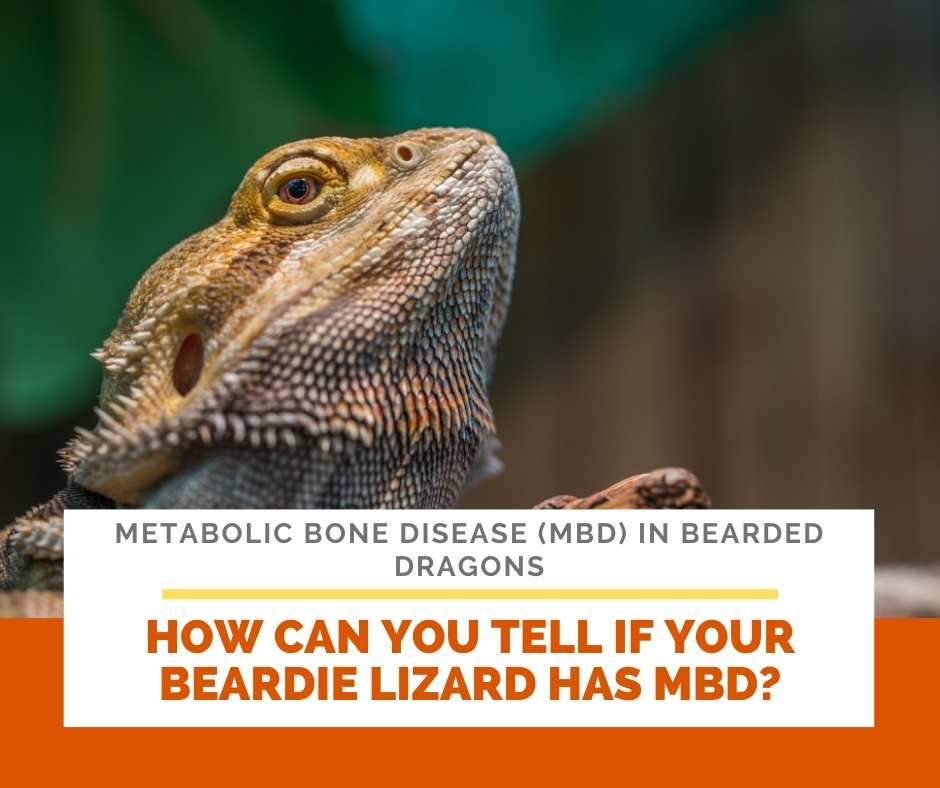How Can You Tell If Your Beardie Lizard Has MBD?