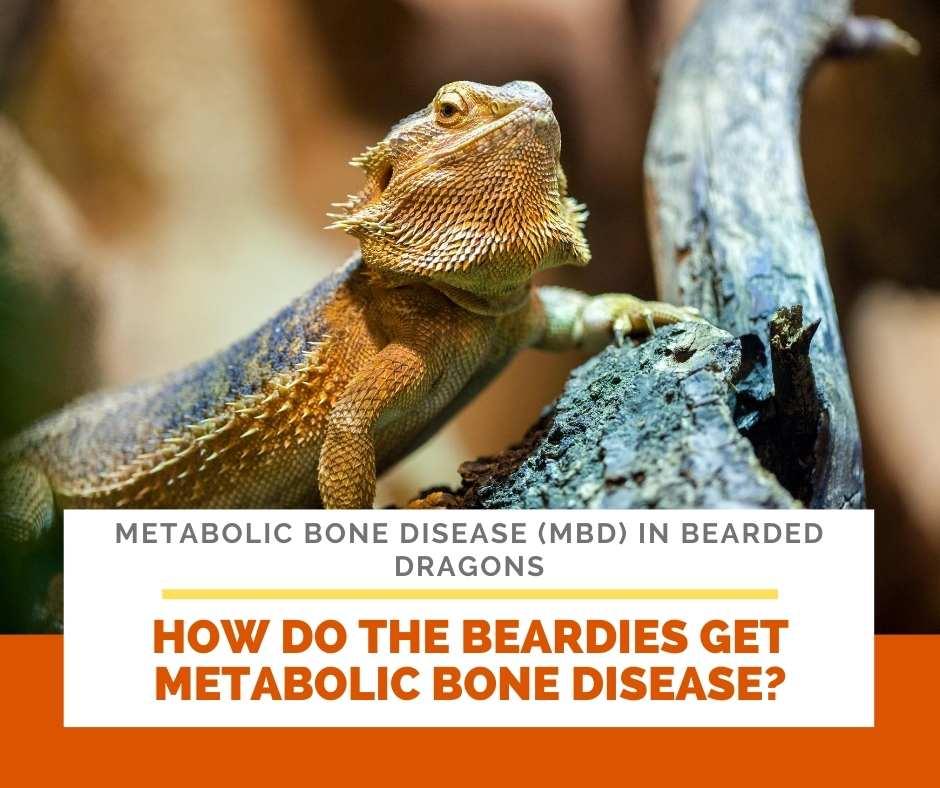 How Do The Beardies Get Metabolic Bone Disease?