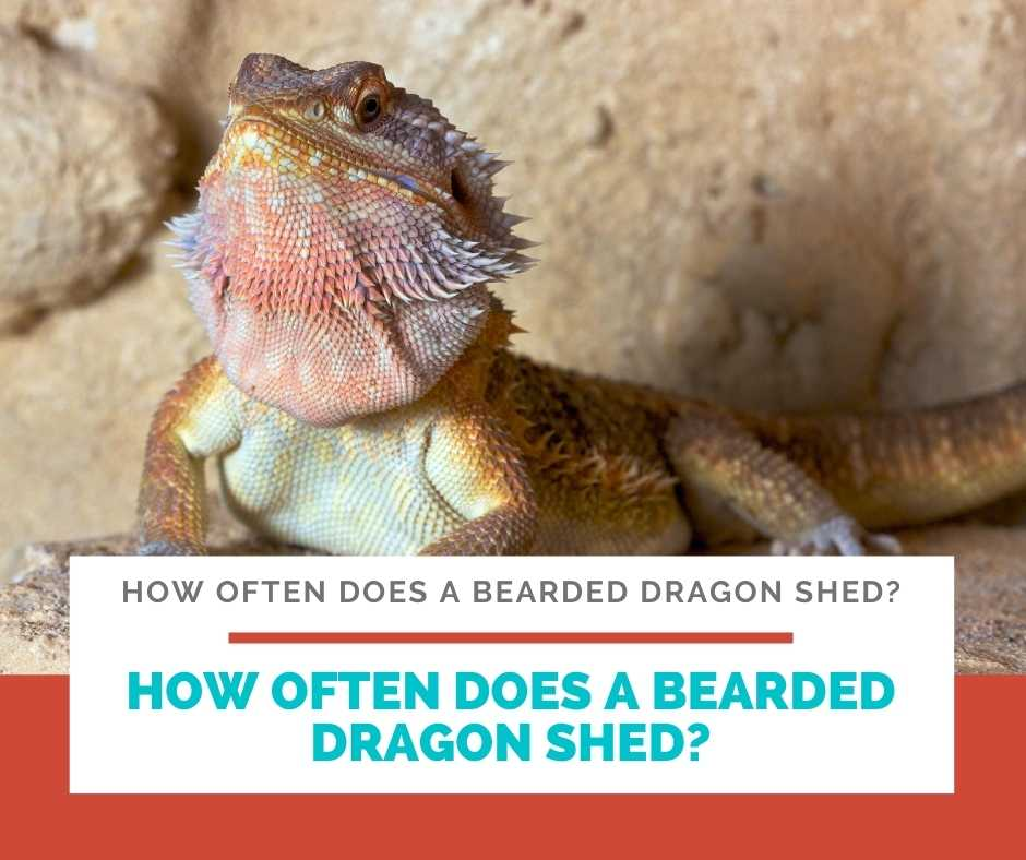 How Often Does A Bearded Dragon Shed?