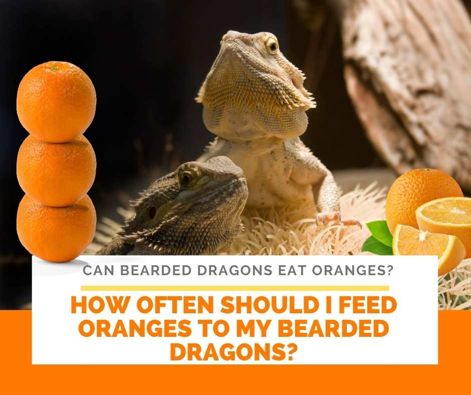 How Often Should I Feed Oranges To My Bearded Dragons?