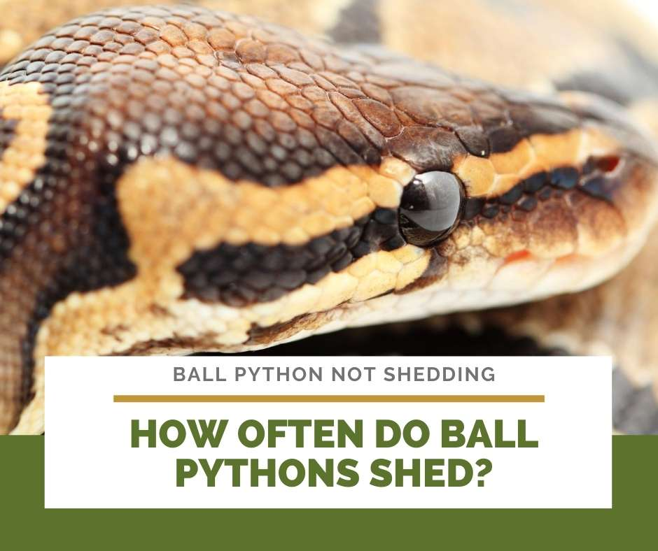 How Often Do Ball Pythons Shed?