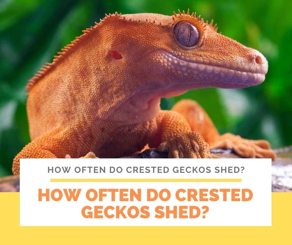 How Often Do Crested Geckos Shed?