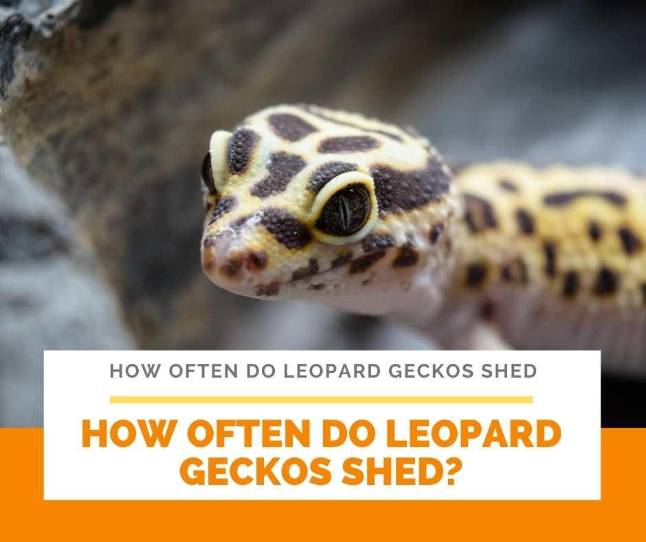 How Often Do Leopard Geckos Shed?