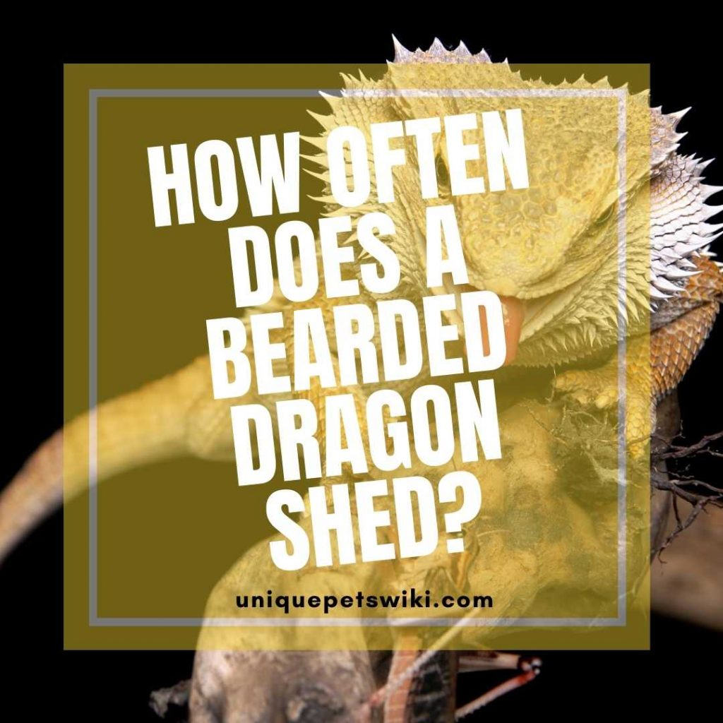 bearded-dragon-shed