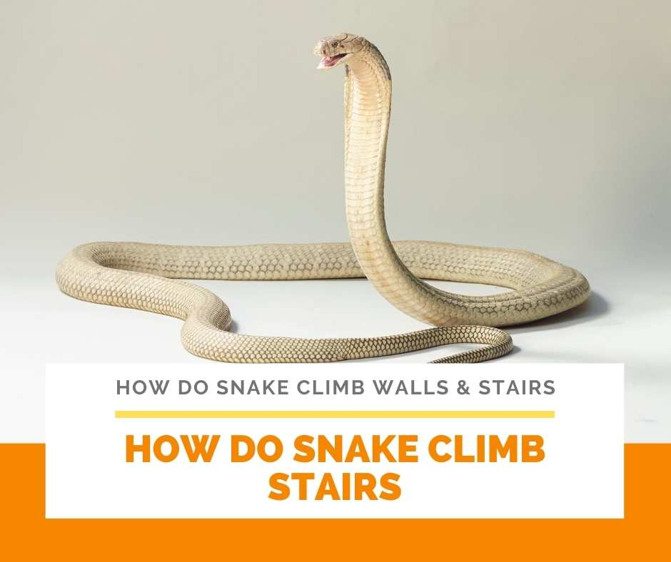 How Do Snake Climb Stairs
