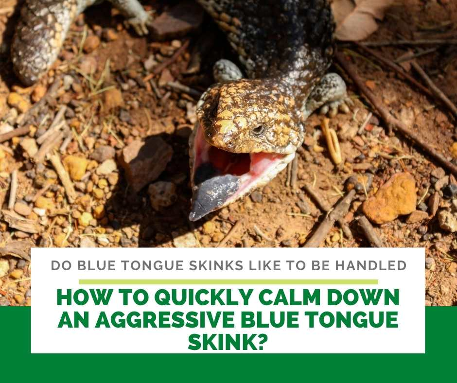 How To Quickly Calm Down An Aggressive Blue Tongue Skink?