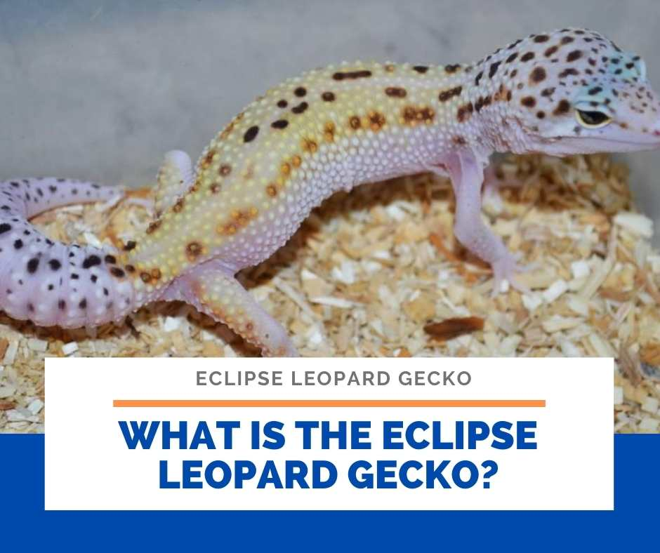 What Is The Eclipse Leopard Gecko?