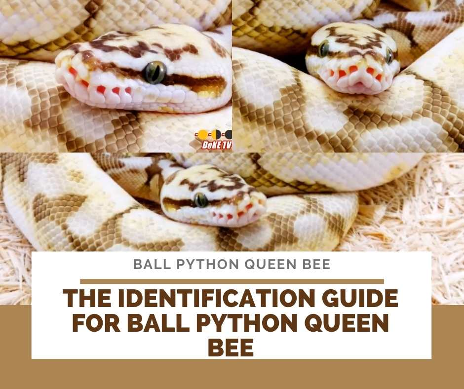 The Identification Guide For Ball Python Queen Bee