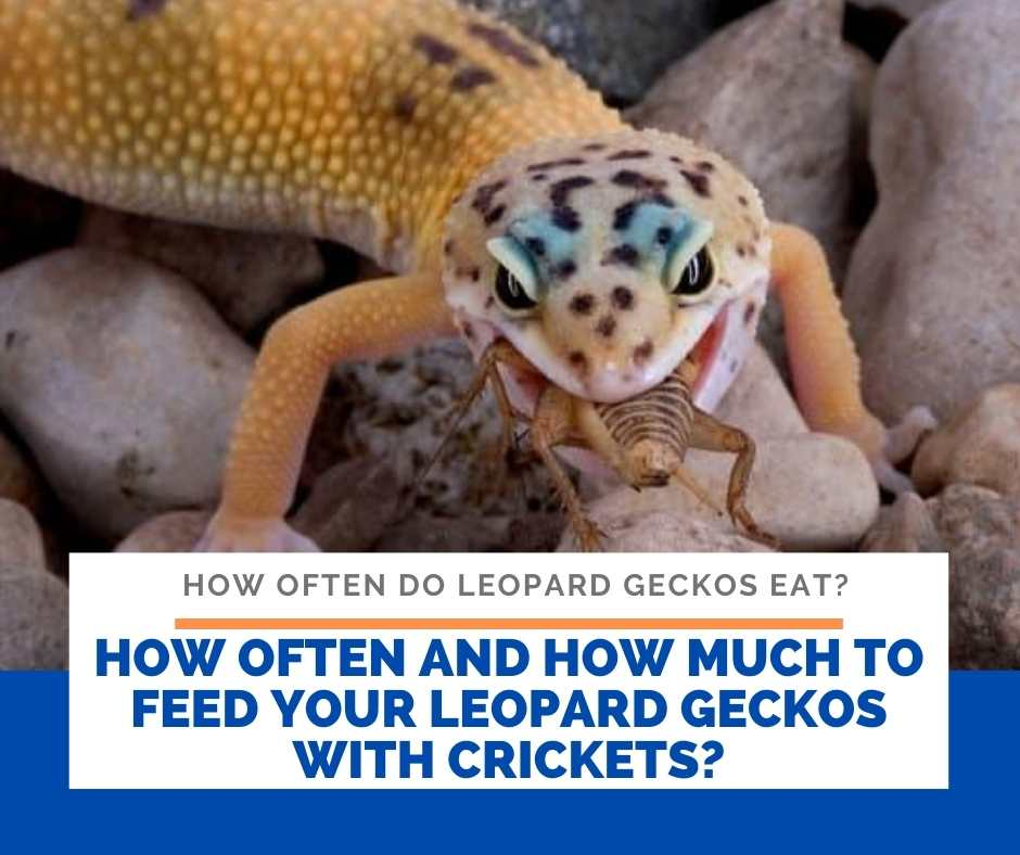 How Often And How Much To Feed Your Leopard Geckos With Crickets?