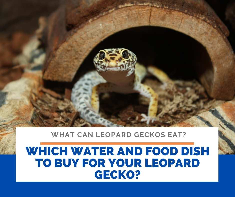 Which Water And Food Dish To Buy For Your Leopard Gecko?