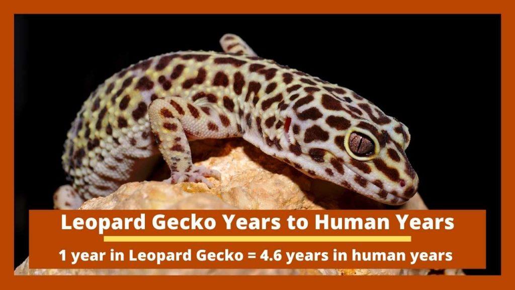 Leopard Gecko Years to Human Years