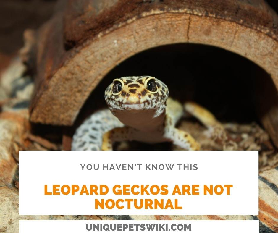 leopard geckos are not nocturnal