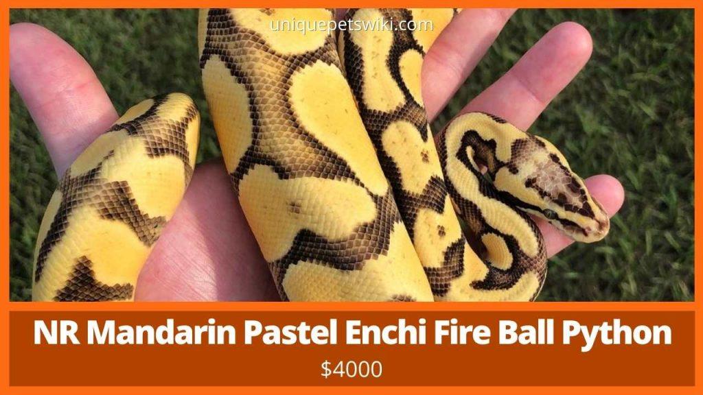 NR Mandarin Pastel Enchi Fire Ball Python