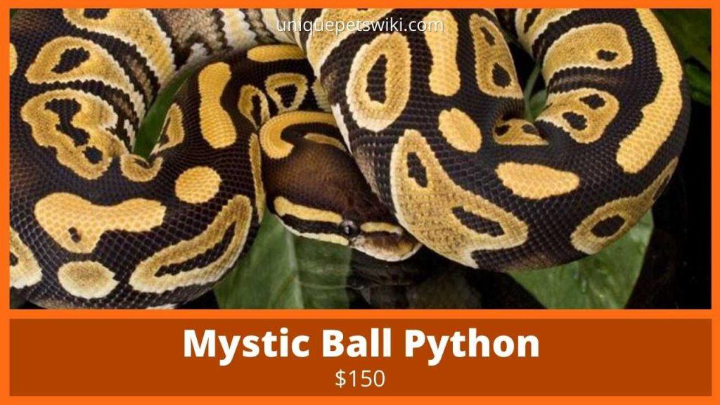 Mystic Ball Python