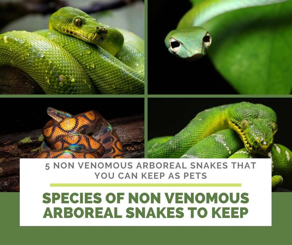 What Species Of Non Venomous Arboreal Snakes Are Good To Keep?