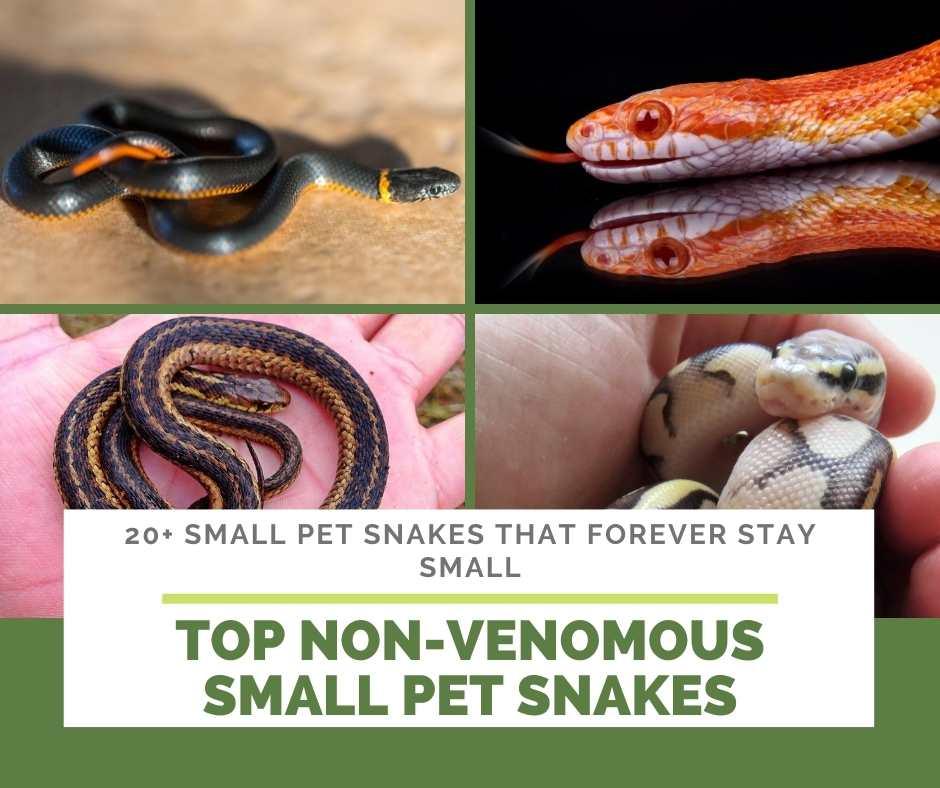 Top Non-Venomous Small Pet Snakes