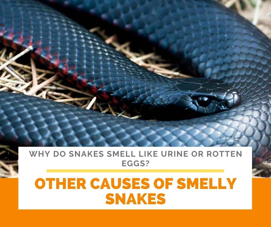Other Causes Of Smelly Snakes