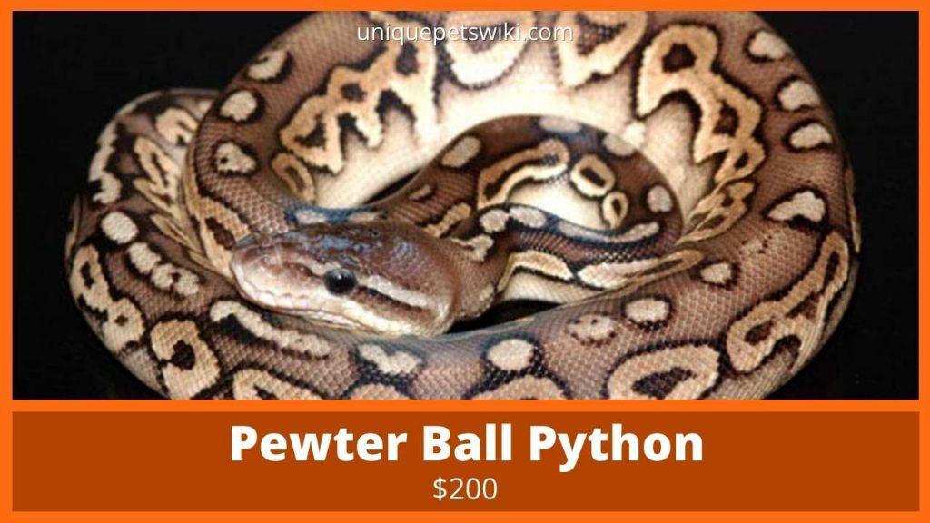 Pewter Ball Python