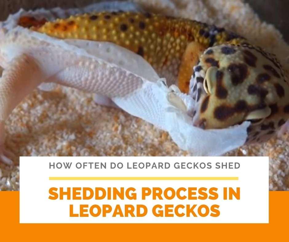 Shedding Process In Leopard Geckos