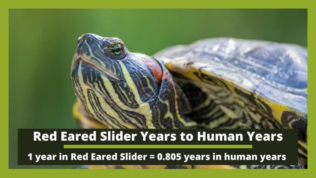 Red Eared Slider Years to Human Years