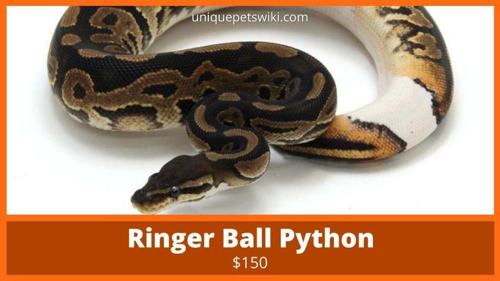 Ringer Ball Python