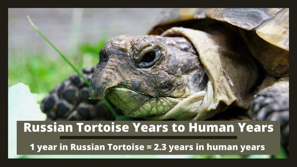 Russian Tortoise Years to Human Years