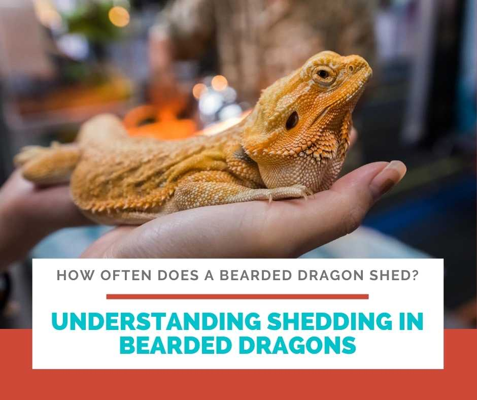 Understanding Shedding In Bearded Dragons