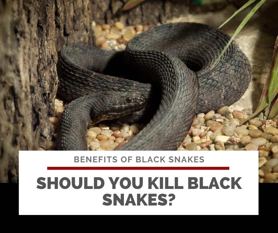 Should You Kill Black Snakes?