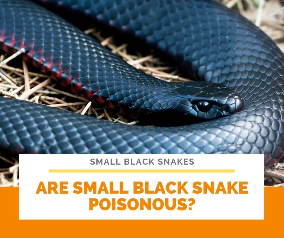 Are Small Black Snake Poisonous?
