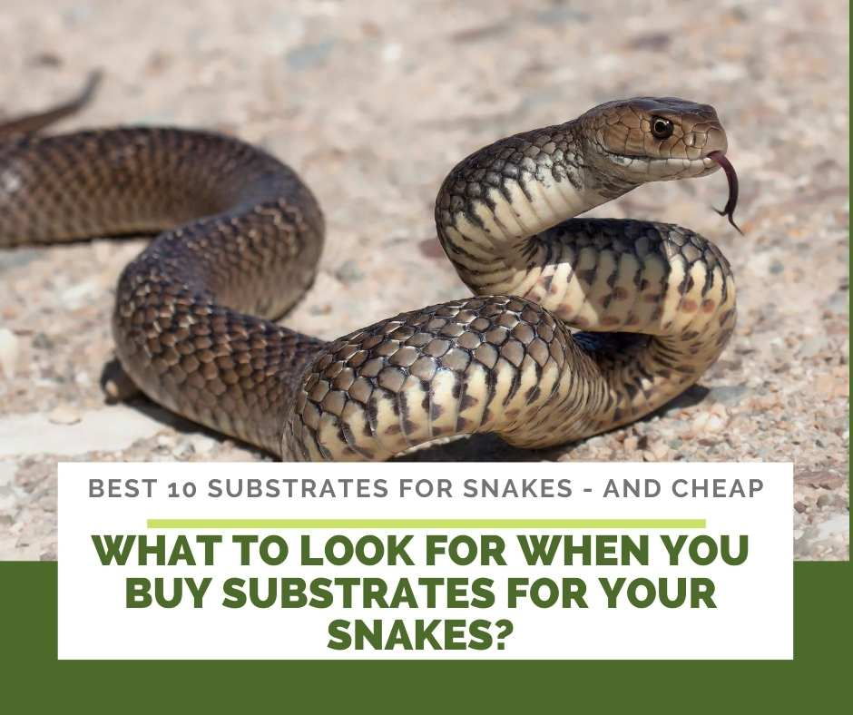 What To Look For When You Buy Substrates For Your Snakes?