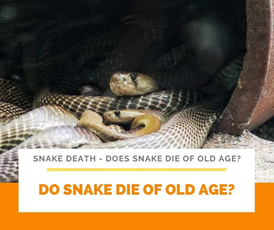 Do Snake Die Of Old Age?