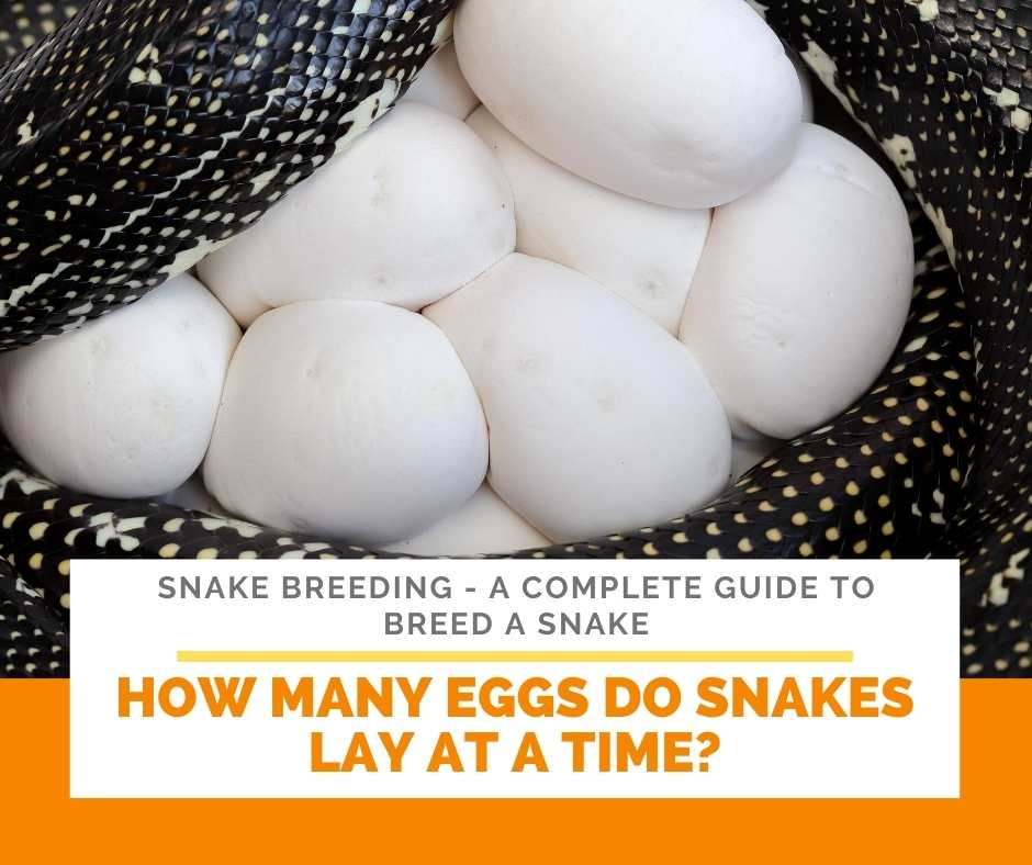How Many Eggs Do Snakes Lay At A Time?
