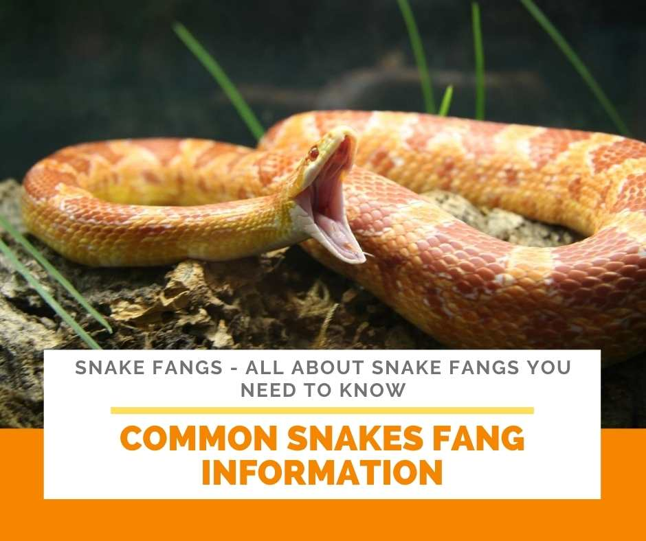 Common Snakes Fang Information