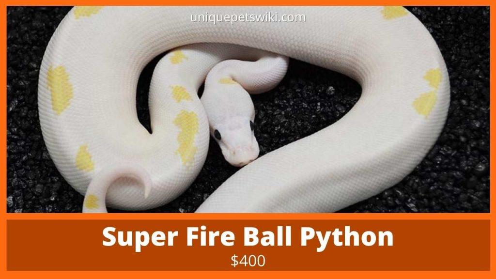 Super Fire Ball Python
