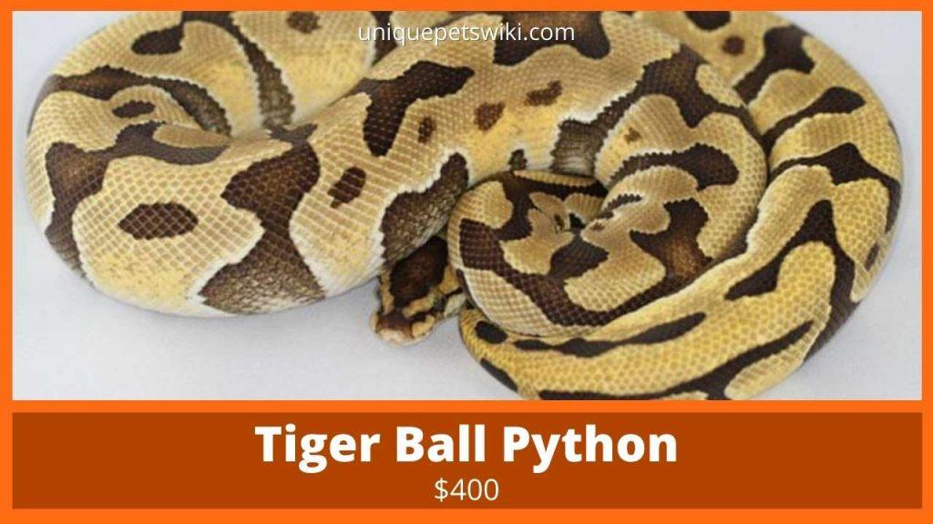 Tiger Ball Python