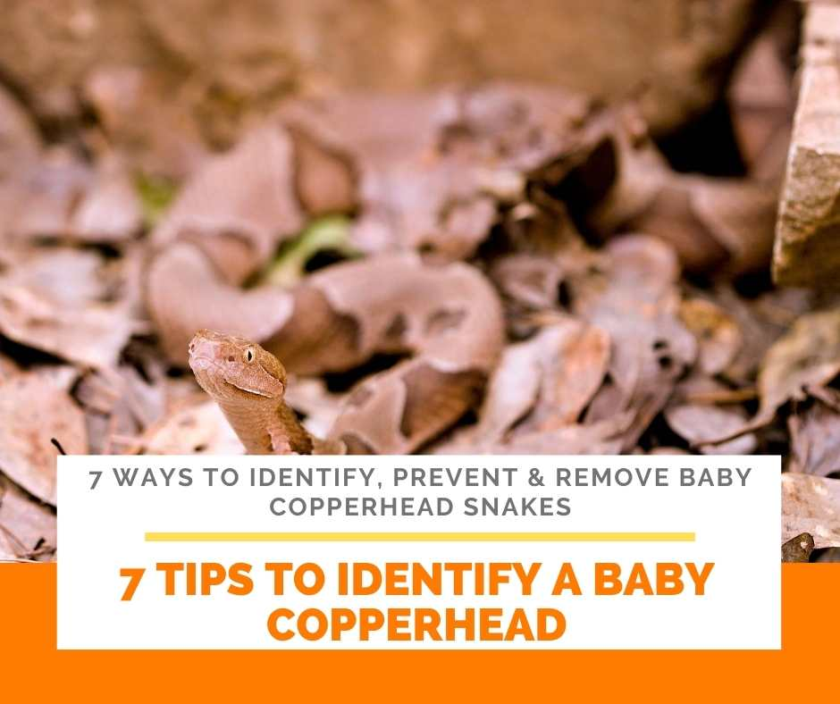 7 Tips To Identify A Baby Copperhead