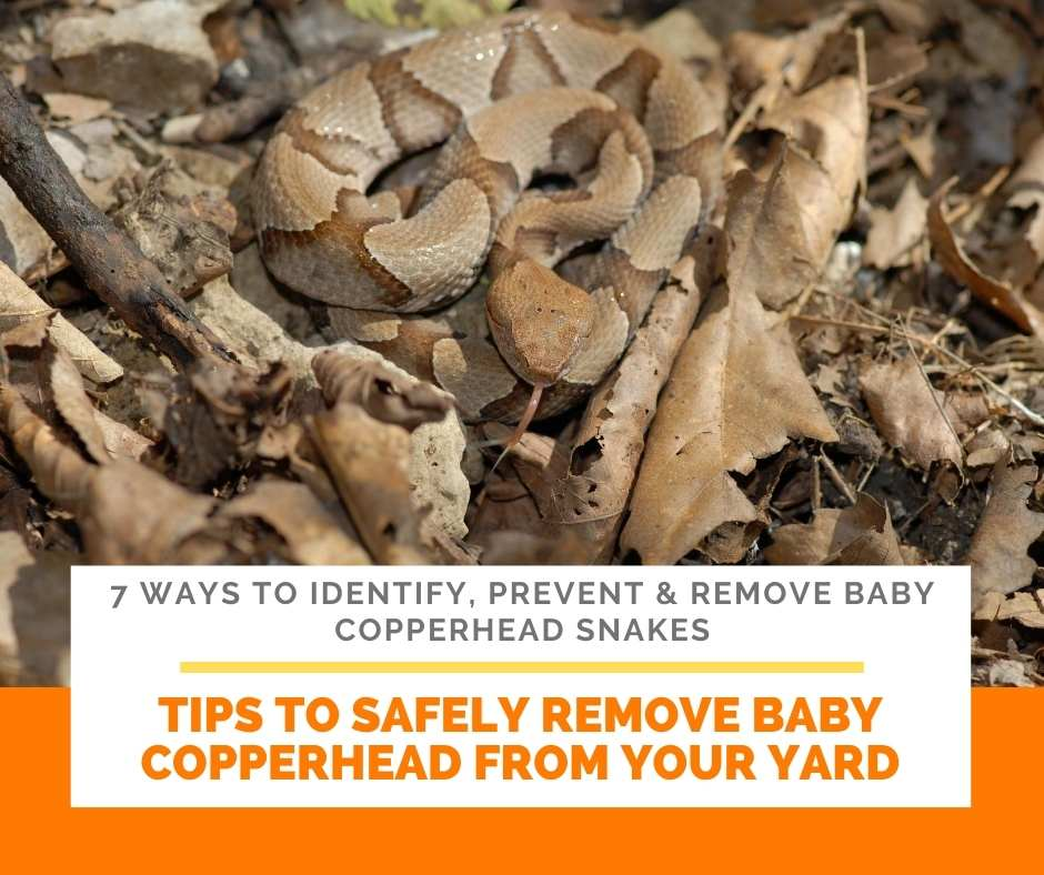 Tips To Safely Remove Baby Copperhead From Your Yard