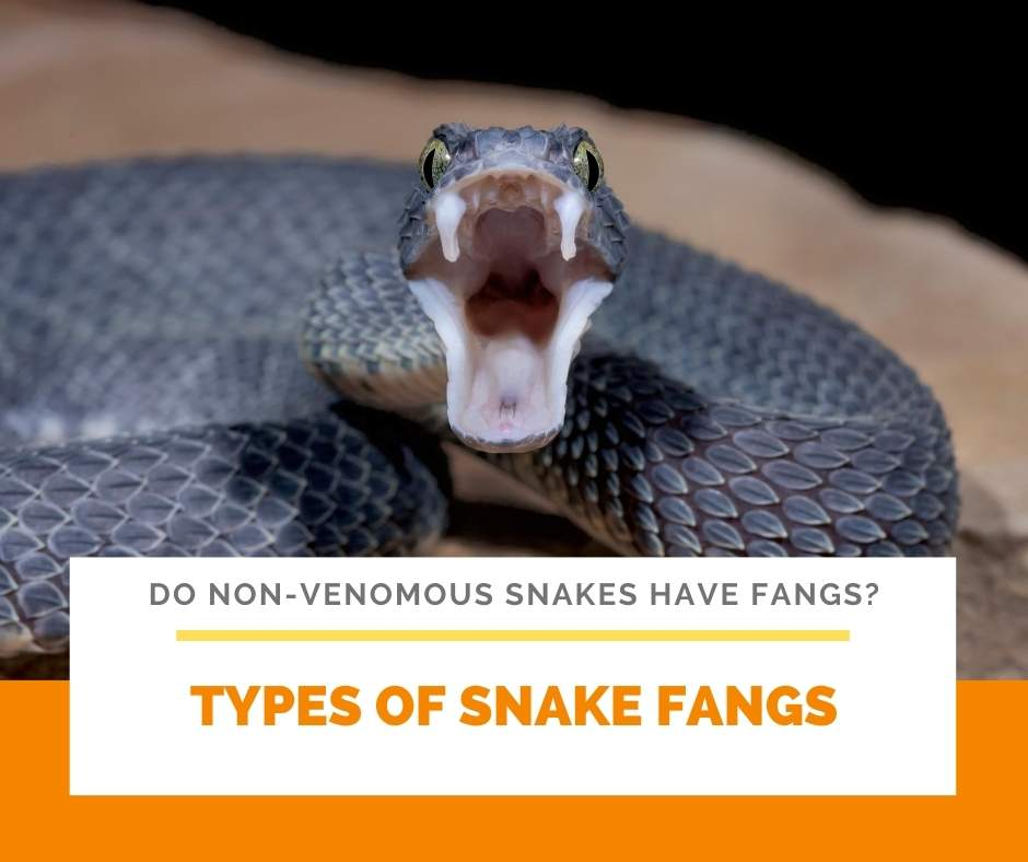 Types Of Snake Fangs
