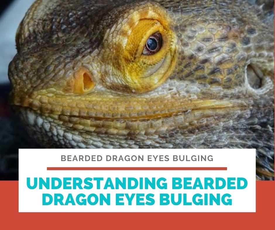 Understanding Bearded Dragon Eyes Bulging