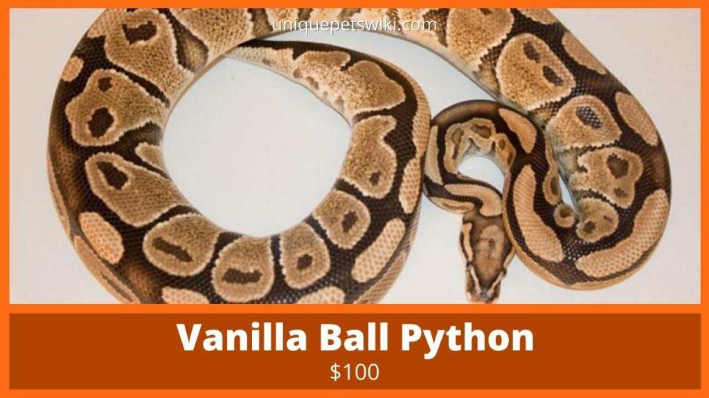 Vanilla Ball Python