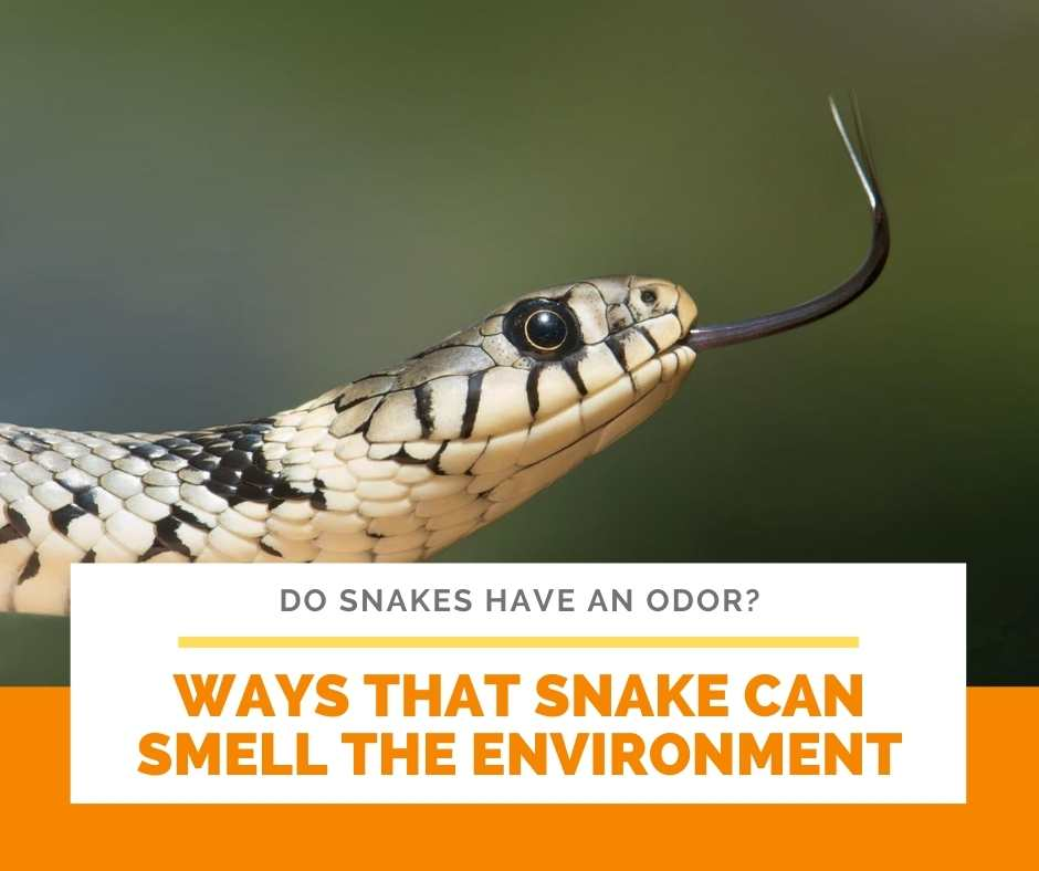 Ways That Snake Can Smell The Environment