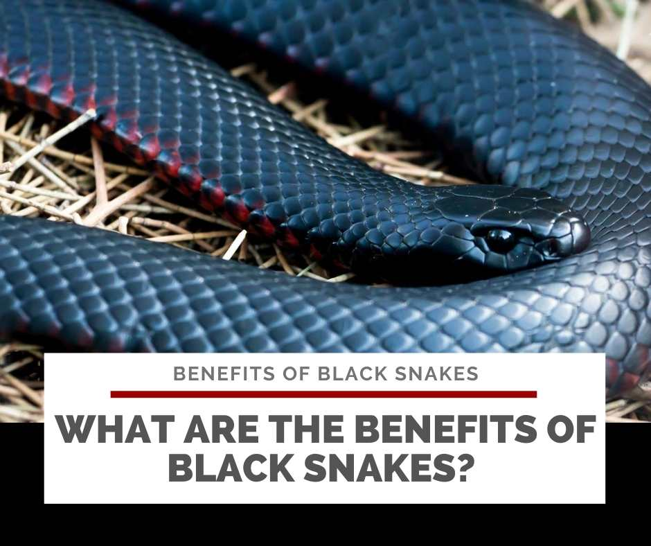 What Are The Benefits Of Black Snakes?