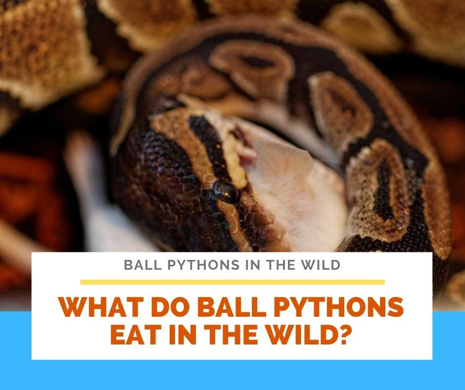 What Do Ball Pythons Eat In The Wild?
