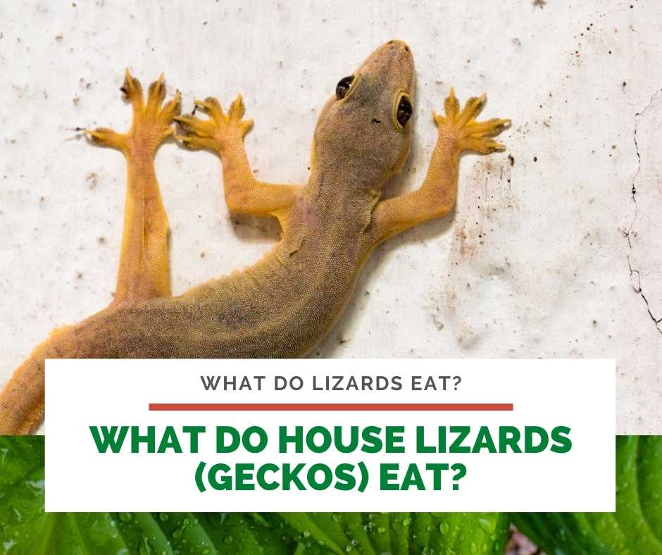 What Do House Lizards (Geckos) Eat?