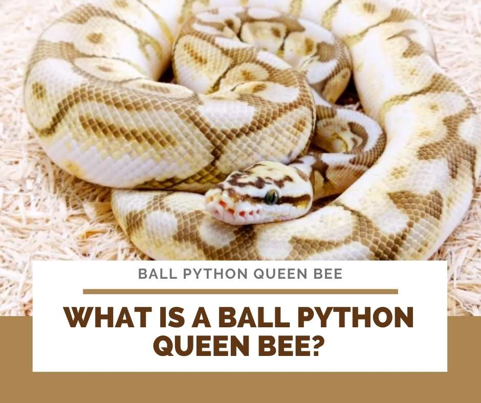 What Is A Ball Python Queen Bee?