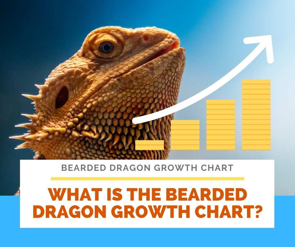 What Is The Bearded Dragon Growth Chart?