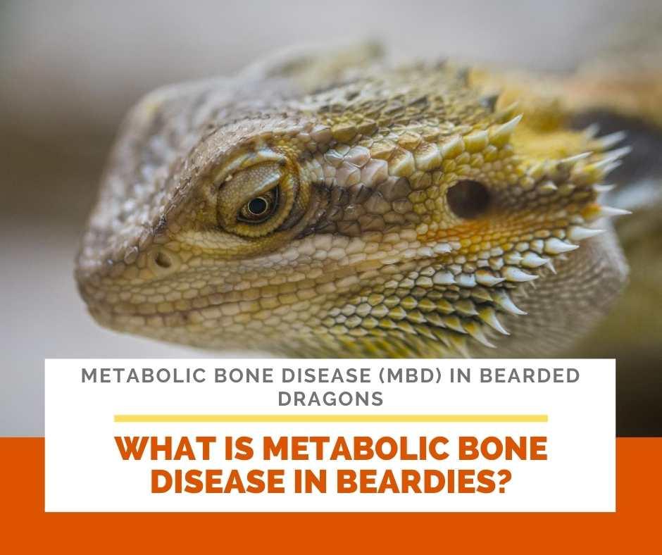 What Is Metabolic Bone Disease In Beardies?