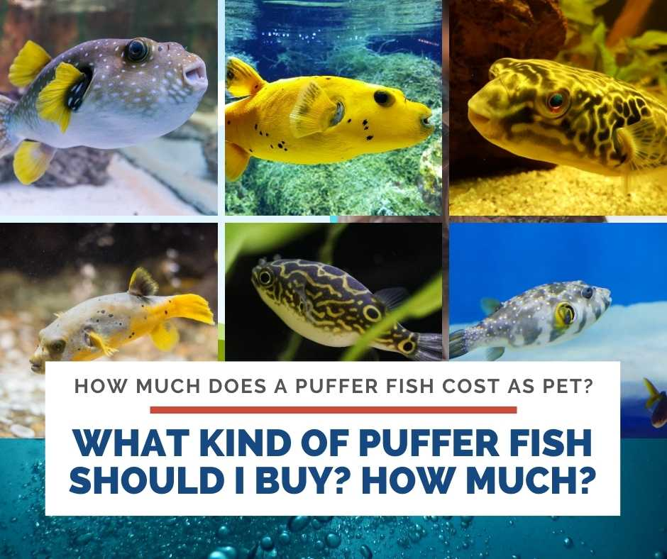 What Kind Of Puffer Fish Should I Buy? How Much It Will Cost?