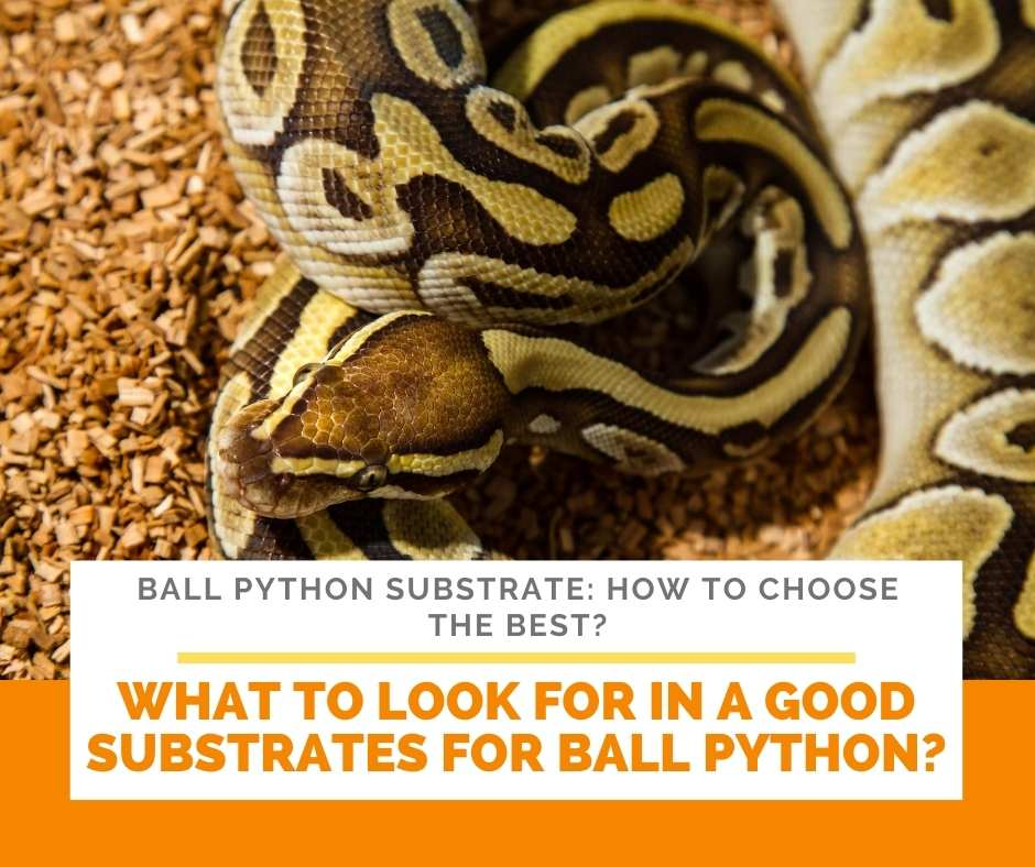 What To Look For In A Good Substrates For Ball Python?